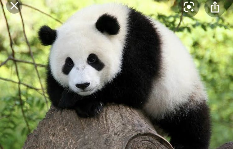 パンダ大好き